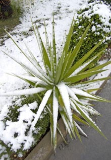 Palme im Winter